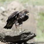 Steinadler (Aquila chrysaetos), golden eagle / Foto: Ralph Frank