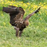 Schreiadler (Aquila pomarina) / Foto: Ralph Frank