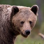 Braunbär (Ursus arctos) / Foto: Ralph Frank