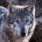 Grauwolf (Canis lupus) / Foto: Ralph Frank