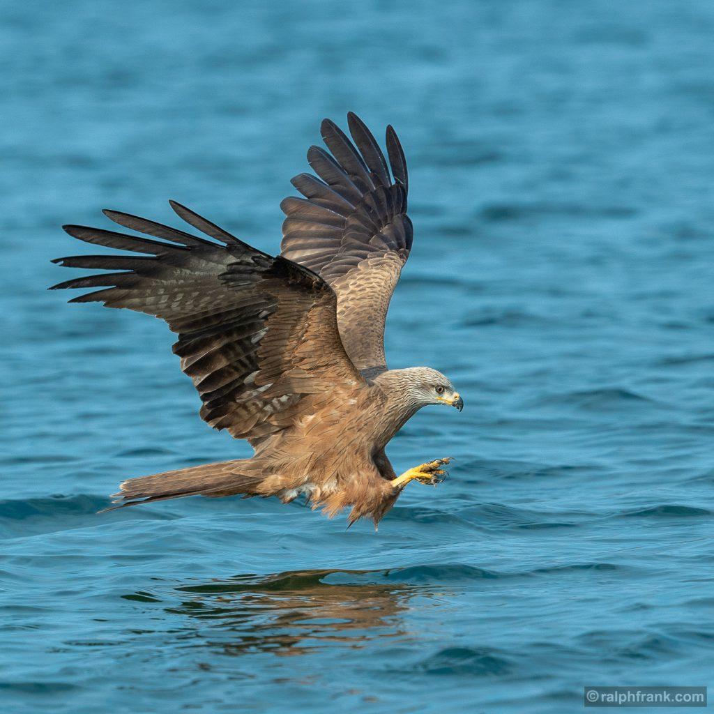 Schwarzmilan oder Schwarzer Milan (Milvus migrans), black kite / Foto: Ralph Frank