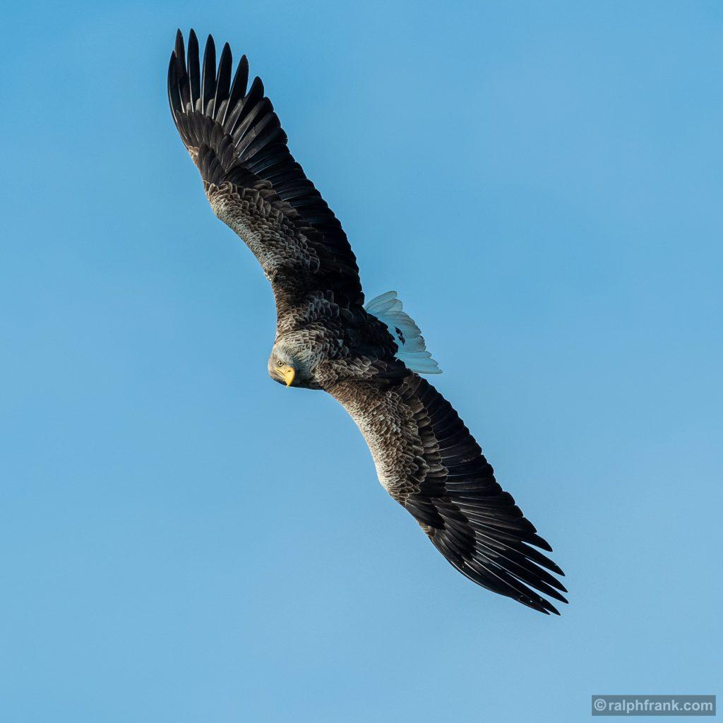Seeadler (Haliaeetus albicilla) / white-tailed eagle / Foto: Ralph Frank